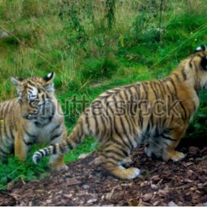 Cachorros de tigre