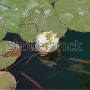 Flor de agua
